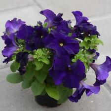 20 large bloom petunia seeds DREAMS MIDNIGHT everblooming violet toned blue bloo