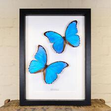 Blue Morpho Butterfly Pair in Box Frame (Morpho didius)