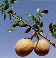 Wood apple Limonia acidissima, Feronia elephantum, Tree Seeds (5 seeds) T-076