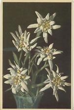 VINTAGE WHITE SWITZERLAND EDELWEISS FLOWERS IN VASE POSTCARD ART PRINT UNUSED