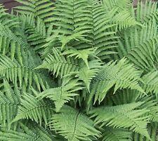 5 New York Fern Premium Native Woodland Ferns Bare Root Stock