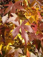 LIQUID AMBER  STYRACYFLUA 15 seeds