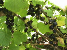 10 Black Currant Seeds TASTY FOR JELLY & LEAVES DRIED 2 MAKE TEA