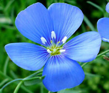 FLAX BLUE ANNUAL ORGANIC Linum Usitatissimum - 1,000 Seeds