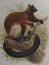 c1880 PRINT KEULEMANS MADAGASCAR ~ LEMUR RUBER RED RUFFED