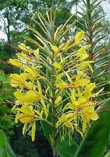 """Zierpflanze. GUT Schmetterlings-Ingwer /""""Hedychium gardnerianum/"""" Zimmer"""