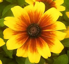 Rudbeckia 'Becky' Mix Seed Extra Dwarf For Pots Baskets Bedding Flowers 4 Months
