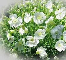 SILENE ROBIN WHITE BREAST 150 SEEDS PERENNIAL