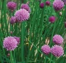 Chives Quality Kings Seeds Herbs