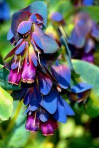 "Honeywort Blue""SHRIMP"" Plant🐝Cerinthe Major🦐5 Seeds·Flower·Annual·Herb·🦋"