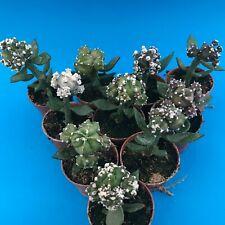2315. Astrophytum myriostigma SPECIAL FORM x 10 DIFFERENT / ariocarpus aztekium