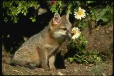 159005 Gray Fox jóvenes Kit A4 Foto Impresión