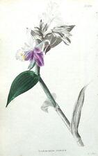 Tradescantia corythornis, loddiges botanico armadio, Antica Botanico Stampa c1820