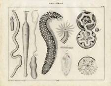 1843 OKEN LITHOGRAPH ribbon worm, spoon worm, sea cucumber, sea urchin, ...