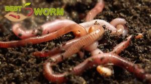 Kompostwürmer, Regenwürmer, Mistwurm Eisenia Fetida-Andrei Mix 500 Stk. Bestworm