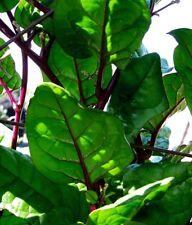 50 Red Stem Malabar Spinach Seeds Organic Non-Gmo Climbing Vine Purple FREE SHIP