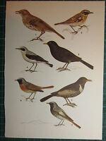 Vintage Naturale Storia Stampa ~ Nero Redstart Whinchat Wheatear Merlo Ouzel