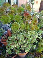 beau lot  BOUTURES plantes façiles a vivre +feuilles de laurier ,sauce,bouill0ns