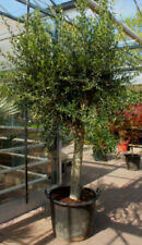 Oliven-Bäume mit mittlerem Wasserbedarf für volles Sonnenlicht