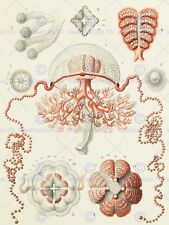 NATURE MEDUSAE HAECKEL SCIENCE 12 X 16 INCH ART PRINT POSTER PICTURE HP2243