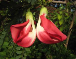 Hummingbird Tree   Sesbania Grandiflora   10 Seeds   (Free US Shipping)