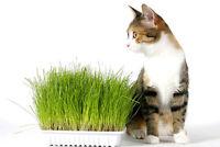 Katzengras Samen ca. 100 Stück/Verdauungshilfe/Nahrung für die Katze
