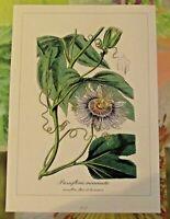 Ancienne Planche Botanique d'après Gaston Bonnier Passiflore Fleur de la Passion