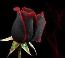 25x Rare Multi-Colours Black/Red Rose Seeds Garden Plant, UK Seller