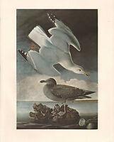 VINTAGE JOHN JAMES AUDUBON BIRD PRINT ~ HERRING GULL WITH JUVENILE