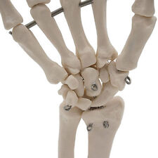 Professional Hand Joint Anatomical Skeleton Model Science Health Anatomy Life
