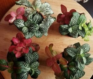 Fittonia ,Nerve, Mosaic 3 mixed house plant rooted cuttings   * Terrarium