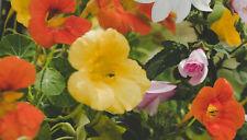 26 Alaska Nasturtium Flower Seeds - Edible Fast Growing Flower - Striking
