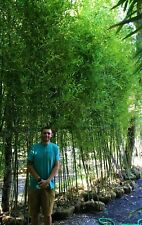 BAMBOO PLANT: INSTANT PRIVACY 200 BAMBOO PLANTS 17' TALL -FENCE 1/2off WHOLESALE