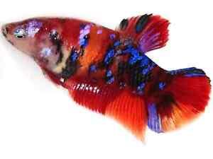 (LimitedOffer!) Premium Live Betta Fish l Female Nemo Avatar Plakat 7199