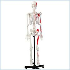 Anatomical Human Skeleton Model, Muscular Painted, Numbered, 170cm, w/Nerves