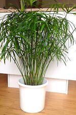 3x Katzengras Pflanze Zypergras Gras Papyrus Zyperngras Wasserpalme Ableger