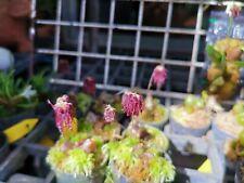 Bulbophyllum tripaleum miniature fragrant orchid plant species BLOOMING Thailand