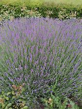 10 Lavendel Lavandula angustifolia Hidcote Blue Sommerblüher