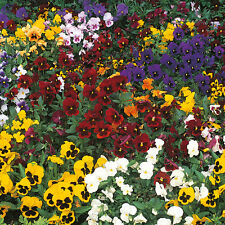 Kings Seeds - Pansy - Winter Flowering Mixed - 100 Seeds