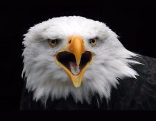 METAL FRIDGE MAGNET Bald Eagle Looking At Camera Beak Open Bird Eagles Birds