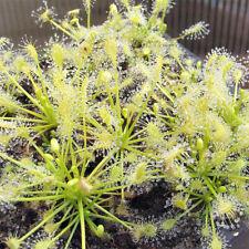 "Drosera intermedia ""anthocyanin free"" {North Carolina} 25s, Carnivorous Seeds"