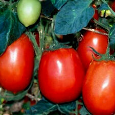 Tomato Seeds. Rio Grande, Non-Gmo Heirloom Tomato Seed, Very Heat Tolerant, 50ct