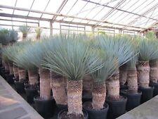 Yucca rostrata - 100-120cm - Winterharte gewurzelte Pflanze im Topf bis -23°C