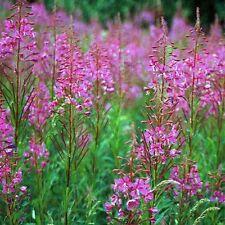 Fireweed- Willowherb-Epilobum- 100 seeds- BOGO 50% off SALE