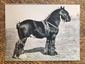 Horse Postcard -Champion Shire Stallion 'Champion's Goalkeeper' see Description