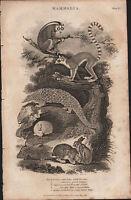 1808 Antik Aufdruck ~Mammalia~ Lemur Lepus Domestic Hase Schwanz Manis