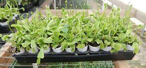 *King Henry*Venus Fly Trap Carnivorous Plant-Dionaea muscipula-EXTRA LARGE TRAPS