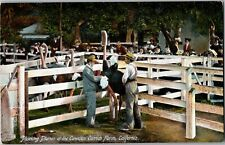 Men Plucking Feathers Plumes Cawston Ostrich Farm Ca Vintage Postcard T32