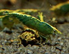 7 Freshwater Green Jade Shrimps - Juveniles & adults, fish tank, koi pond