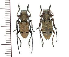 Cerambycidae:Maesechthistatus taniguchii pair A1, unmounted,Japan,beetle